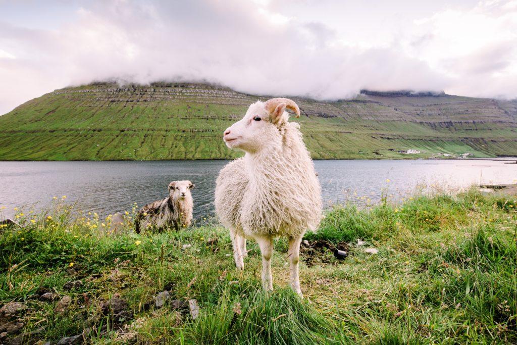 雄大な自然の中に佇む羊たち